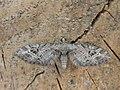 Eupithecia exiguata (2939816088).jpg