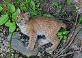 Eurasian lynx2 (14825149178).jpg