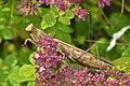 European Mantis (Mantis religiosa) - Guelph, Ontario 02.jpg