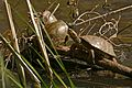 European Pond Turtle (Emys orbicularis)(middle) and 2 Mediterranean Pond Turtles (Mauremys leprosa) (26232523730).jpg