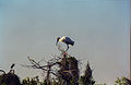 Everglades06(js)-Wood Stork.jpg