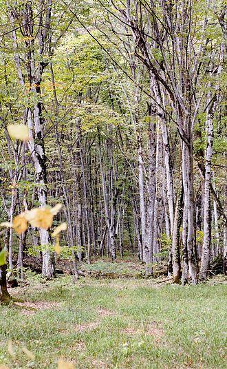 Fagus orientalis - In the Caucasus Mountains, Georgia.