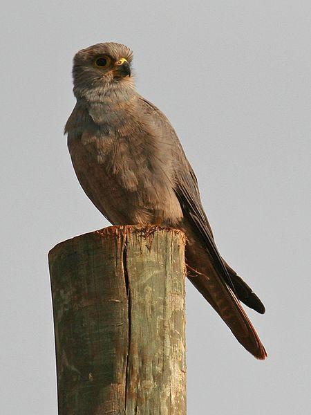 File:Falco ardosiaceus.jpg