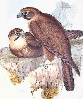 Brown falcon - Image: Falco berigora