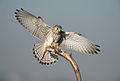 Falco tinnunculus, Tal Chhapar Sanctuary (8301382289).jpg