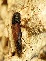 False Click Beetle (31811047815).jpg