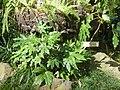 Fatsia japonica 2.JPG