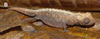 Female Brookesia tristis from Montagne des Français.png