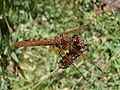 Female Flame Skimmer.jpg