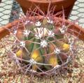 Ferocactus covillei 1.jpg