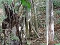 Ficus cotinifolia 572160.jpg
