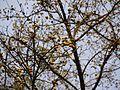 Ficus drupacea (6923517823).jpg
