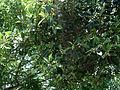 Ficus microcarpa — 正榕 by 石川 Shihchuan — 001.jpg