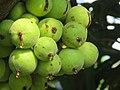 Ficus racemosa fruits at Makutta (5).jpg
