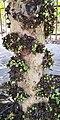Ficus sycomorus - Stem with fruits.jpg