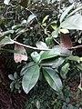 Ficustinctoriakerala 04.jpg