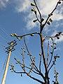 Figgy branches (8421627618).jpg
