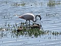 Flamingo and ducks El Calafate Argentina.jpg