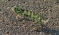 Flap-neck Chameleon (Chamaeleo dilepis) (5984537330).jpg