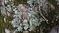 Flavoparmelia caperata 61651307.jpg