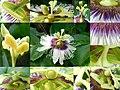 Fleur et organes de reproduction.jpg