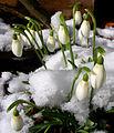 Flickr - Per Ola Wiberg ~ mostly away - snödroppar ~ snowdrops.jpg