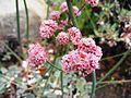 Flickr - brewbooks - Eriogonum grande var. rubescens (2).jpg