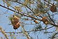 Flickr - fr.zil - Oiseau tisserand (mâle) (4).jpg