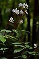 Flickr - ggallice - Begonias (1).jpg