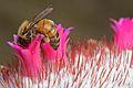 Flickr - ggallice - Pollinator.jpg