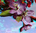 Flickr - jimf0390 - JimF 04-27-10-0042a crab apple blossoms.jpg