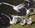 Flickr - law keven - Feeding Frenzy.....jpg