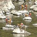 Flock of Aix galericulata in Shonai River - 2.jpg