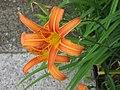 Flor-naranja-dr.jpg