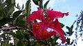 Flor Vermelha com 4 pétalas da Planta conhecida como Graxa-Ba.jpg