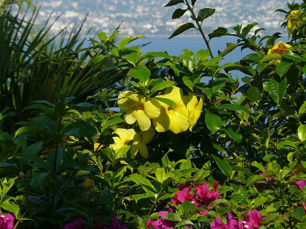 Flor amarilla y buganvilia morada.jpg https://commons.wikimedia.org/wiki/File:Flor_amarilla_y_buganvilia_morada.jpg  Description  Español: Flores amarillas y buganvilia morada Date 3 November 2007, 09:57:41 Source Own work Author Álvaro de la Paz Franco
