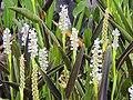 Flores do brejo. - panoramio (1).jpg