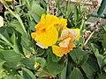 Flors grogues del parque de las Musas de Chiclayo02.jpg
