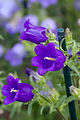 "Flower, Campanula medium ""Canterbury bells"" - Flickr - nekonomania (1).jpg"
