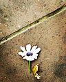 Flower, Iam known as!.jpg