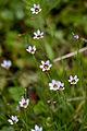 Flower, Sisyrinchium - Flickr - nekonomania.jpg
