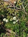 Flowers among junipers.JPG