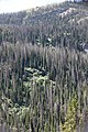Forest affected by spruce beetle activity in the late 1990s on East Entrance Road. (a56551e9-e439-43e1-b0ce-4cda91459f03).jpg