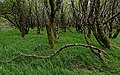 Forest in Haut-Languedoc, Rosis cf05.jpg