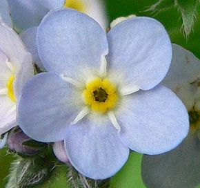 Description de l'image  Image:Forgetmenotflower.JPG .