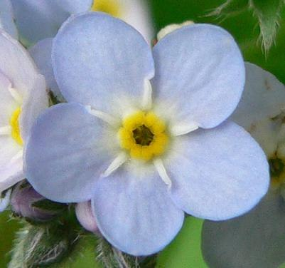 Forgetmenotflower