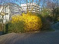 Forsythias Universität Dortmund, 13.3.14 - panoramio.jpg