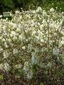 Fothergilla gardenii.jpg
