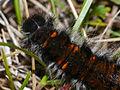 Fox Moth (Macrothylacia rubi) mature caterpillar (10254522463).jpg