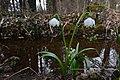 Frühlings-Knotenblume, Leucojum vernum Böhringer 2.JPG